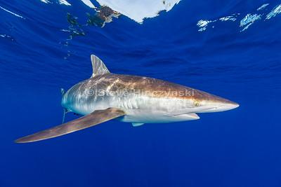 Silky Shark 0205