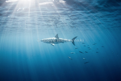 Great White Shark 6776