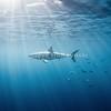 Great White Shark 2011 6776