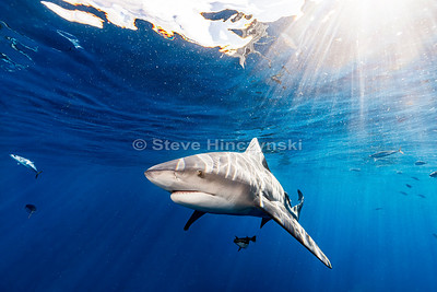 Bull Shark 0096