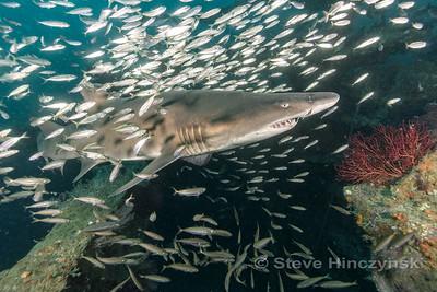 Sand Tiger Shark 20170611 0096