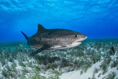 Tiger Shark 0770
