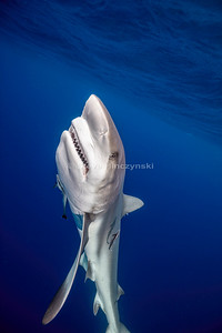 Caribbean Reef Shark 0086