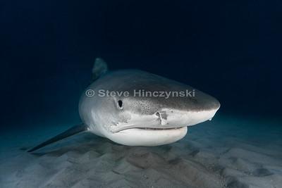 Tiger Shark (Galeocerdo cuvier) 0223-2