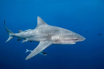 Bull Shark 0169