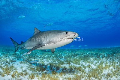 Tiger Shark 0915