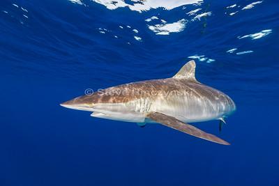 Silky Shark 0223