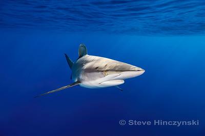 Silky Shark 0176