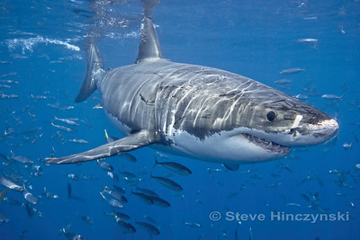 Great White Shark 1166
