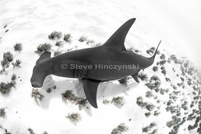 Great Hammerhead Shark 0148