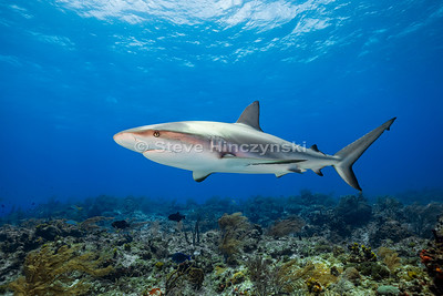 Caribbean Reef Shark 0026