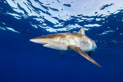 Silky Shark 0251