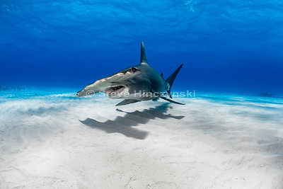 Great Hammerhead Shark 0025