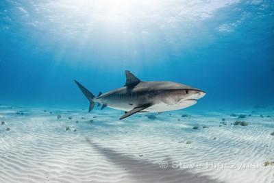 Tiger Shark 0288