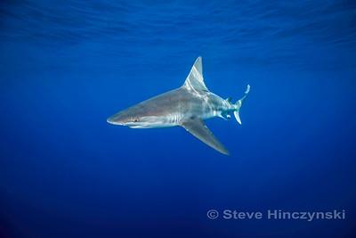 Sandbar Shark 0019