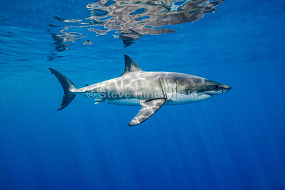 Great White Shark 0223