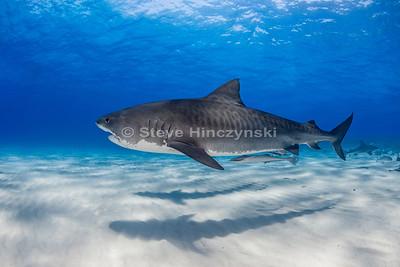 Tiger Shark 0612