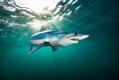 Mako Shark 0162