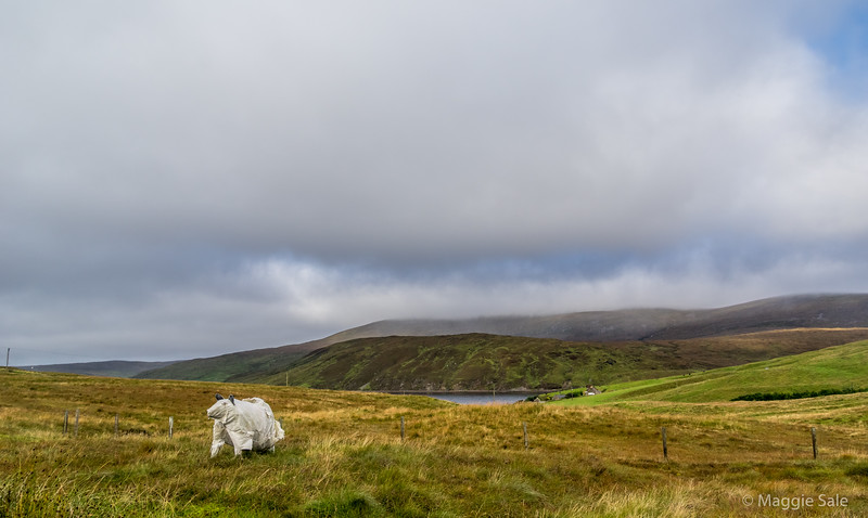 """sheep"" on the moor with Ronas Hill in the background, tallest hill in the Shetlands."