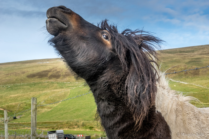 Shetland pony scratching her neck on post at Dale