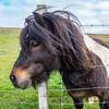 Shetland pony at Dale