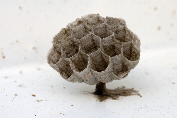 The beginnings of a wasp's nest inside an old lampshade.