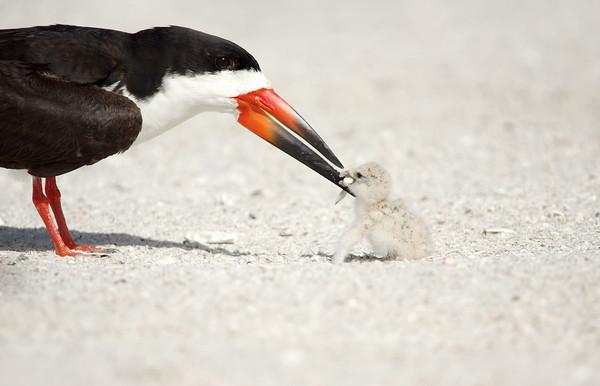 Black Skimmer & Chick Indian Shores, Florida
