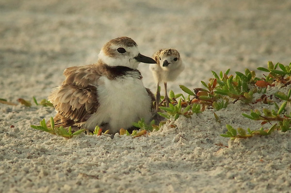room for one more ???? Wilson's Plover  Ft. Myers Beach, FL