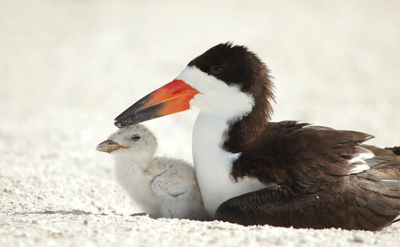 Black Skimmer and chick Redington Beach, Florida