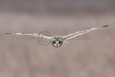 111724 Short Earred Owl
