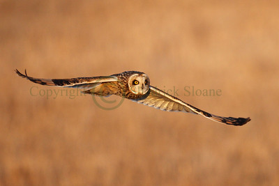 113446 Short Earred Owl