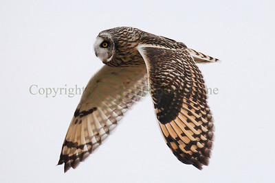 111766 Short Earred Owl