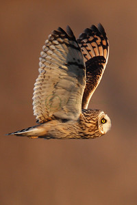 113382 Short Earred Owl