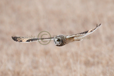 111754 Short Earred Owl