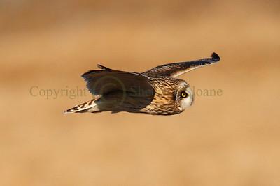 112106 Short Earred Owl