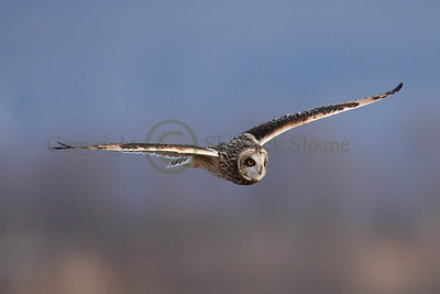 112702 Short Earred Owl