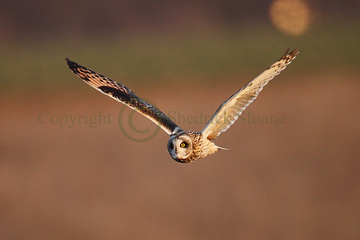 113316 Short Earred Owl