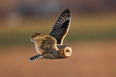 113352 Short Earred Owl