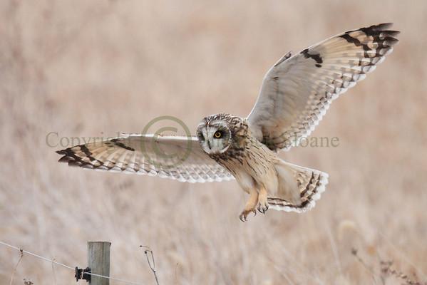 Short Earred Owls