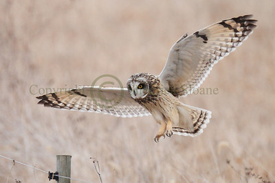 111572 Short Earred Owl