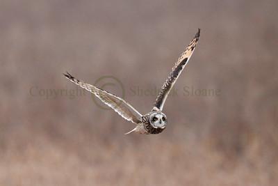 111723 Short Earred Owl