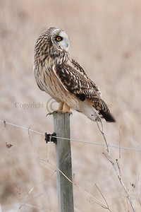 111584 Short Earred Owl