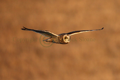 113372 Short Earred Owl