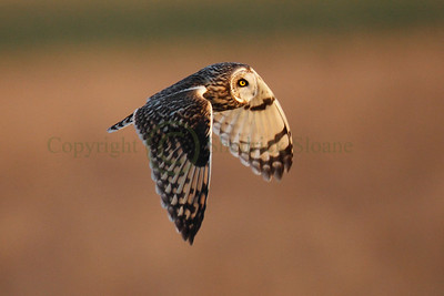 113351 Short Earred Owl
