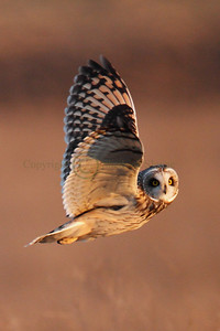 113490 Short Earred Owl
