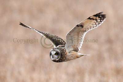 111756 Short Earred Owl