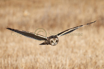 112089 Short Earred Owl