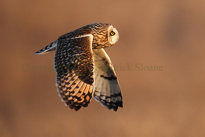 113380 Short Earred Owl