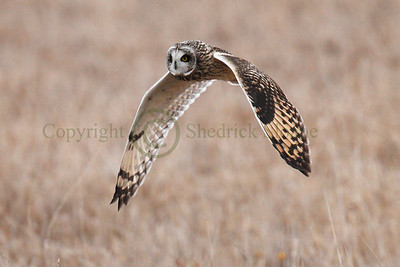 111755 Short Earred Owl
