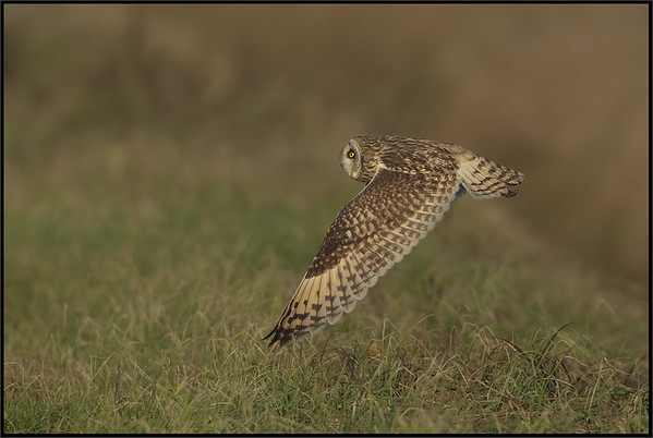 Gufo di palude - Short Eared Owl ( Asio flammeus )  Giuseppe Varano - Nature and Wildlife Images - Birds and Nature Photography